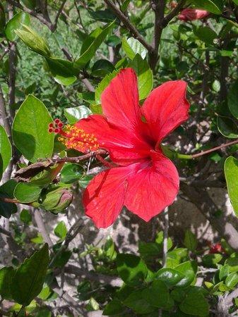 Cathrin Hotel: Hibiscus hedge