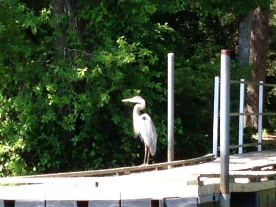Coastal Kayak: Heron posing on our Bald Cypress tour. :)