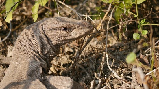 Keoladeo National Park Monitor Lizard