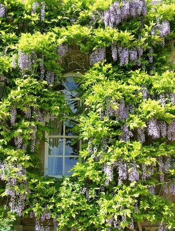 Worcester College: Wisteria Clad Window