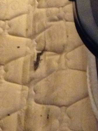 Anderson Ocean Club & Spa, Oceana Resorts : Dead Lizard and Droppings on the Pullout Sofa Mattress!