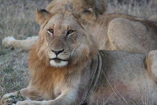 Elephant Plains Game Lodge: Pride of Lions