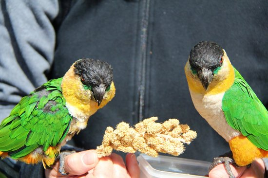 Tropical Birdland: Pair of Black-Heaed Caiques enjoying a feed.