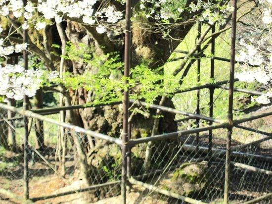 Tarumino Ozakura: 樽見の大桜・・・幹を保護する柵