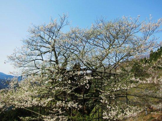 Tarumino Ozakura: 樽見の大桜・・・大桜の左手の桜
