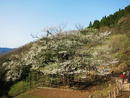 Tarumino Ozakura