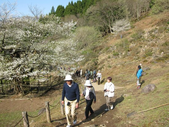 Tarumino Ozakura: 樽見の大桜・・・大桜の脇の路
