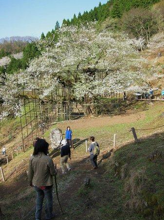 Tarumino Ozakura: 樽見の大桜・・・斜面におおきく咲く大桜全景