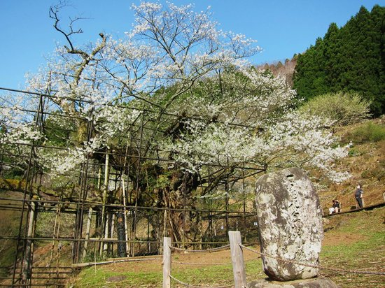 Tarumino Ozakura: 樽見の大桜・・・見事で~す!