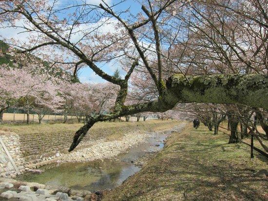 Kuramachino Sakura