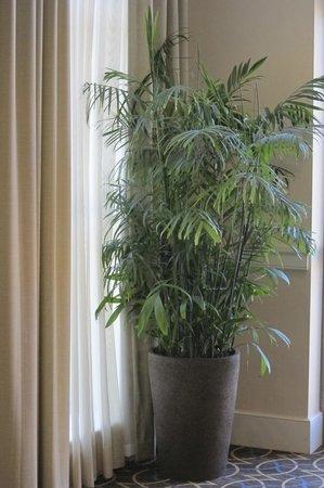 شيراتون جاكسونفيل هوتل: A live bamboo palm