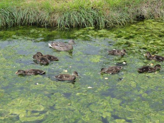 Les Salines : des canards