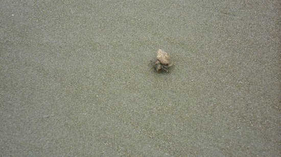 Playa Hermosa Beach Hotel: These little guys were all over the beach, so cute!