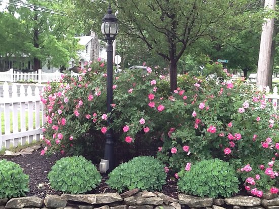 Captain Montague's Bed and Breakfast: our prolific knock-out rosebushes