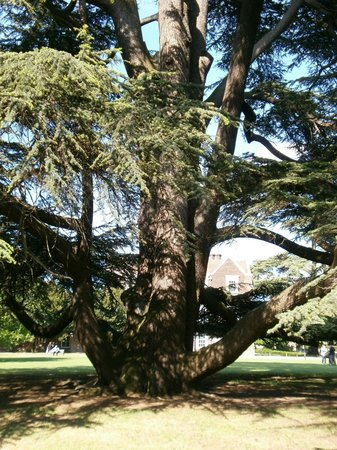 Boston Manor Park: Cedar tree on the lawn in front of the house
