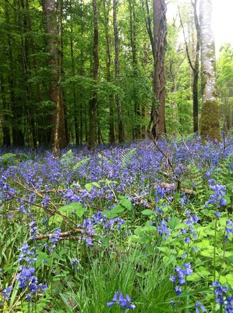 Lough Key Caravan & Camping Park: Carpet of Bluebells