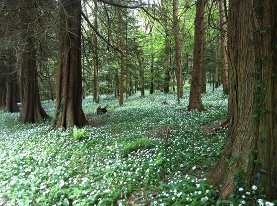 Lough Key Caravan & Camping Park: Wild Garlic