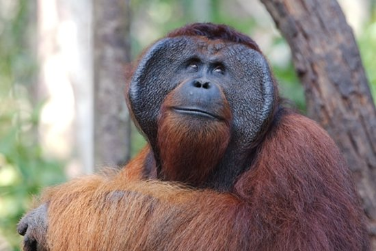 Central Kalimantan, Indonesien: Orangutan Male