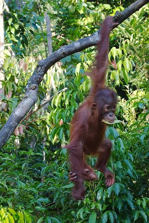 Tanjung Puting National Park: orangutan TNTP