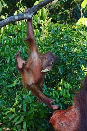 Центральный Калимантан, Индонезия: Orangutan Juveniles