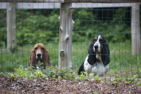 RoosterComb Inn: resident canines