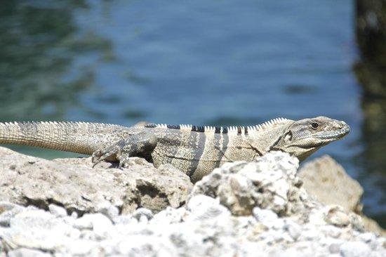 Rubi's Inn: Utila Spinytail Iguana