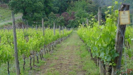 Vineyards at Vignamaggio