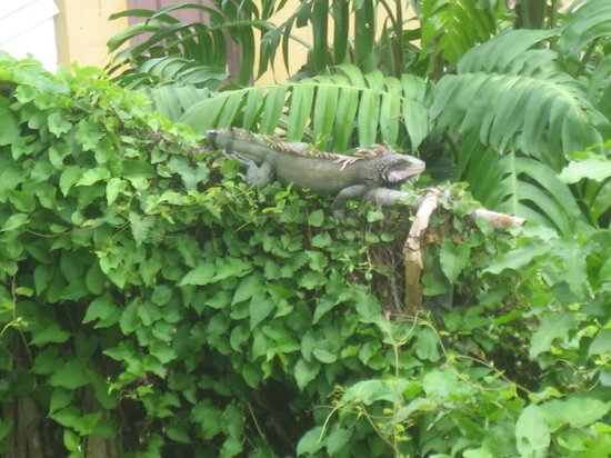 Galleon House Bed & Breakfast: Island Iguana