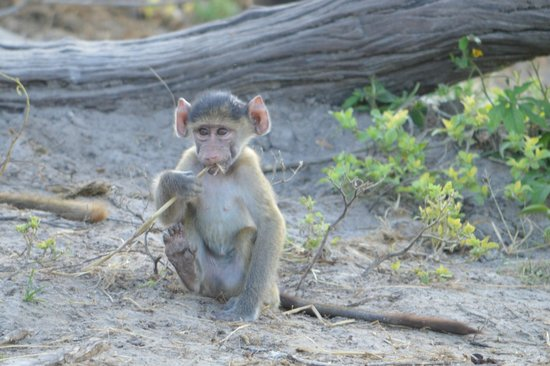 Chobe Game Lodge: Baby Baboon