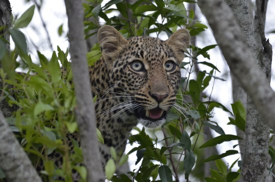 Lorika Adventures Day Tours: Young Leopard