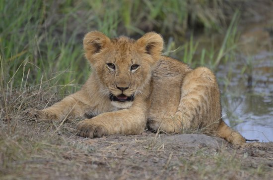Lorika Adventures Day Tours: Young Lion Cub