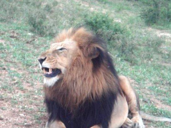 Kapama River Lodge: no primeiro safari já vimos o Leão