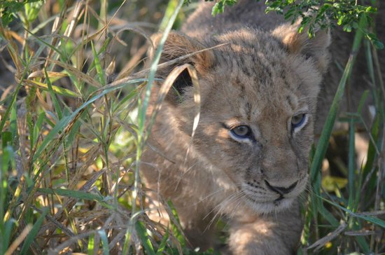 Waterbuck Game Lodge: Lion cub only six weeks old.