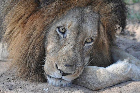 Kapama Southern Camp: Lazy Lion