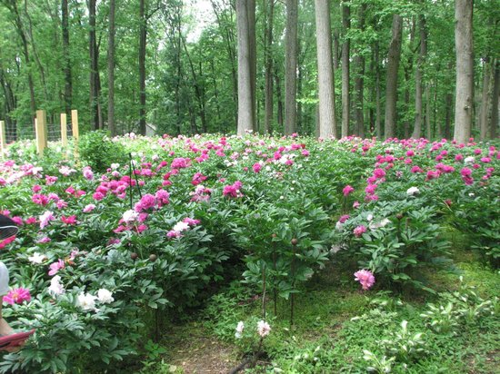 Bernardsville, NJ: Path meandering through peonies