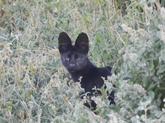 Ngutuni Safari Lodge: Black Serval Cat Ngutuni Sanctuary