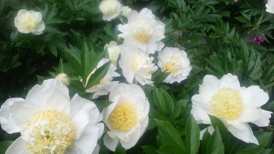 Peony's Envy: Large selection to purchase