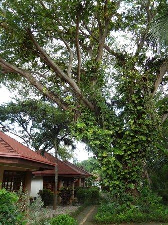 Villa Acacia: Grande y Hermoso arból  de Guanacaste