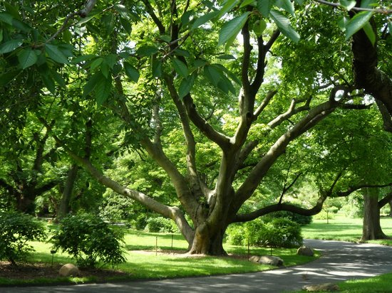 Ancient tree picture of brooklyn botanic garden - Brooklyn botanical garden admission ...