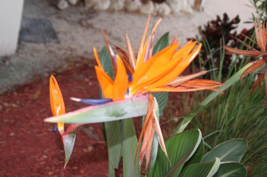Reef Resort: Landscaping: Bird of Paradise