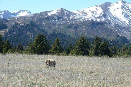 Silver Salmon Creek Lodge: brown bear walking through the grass