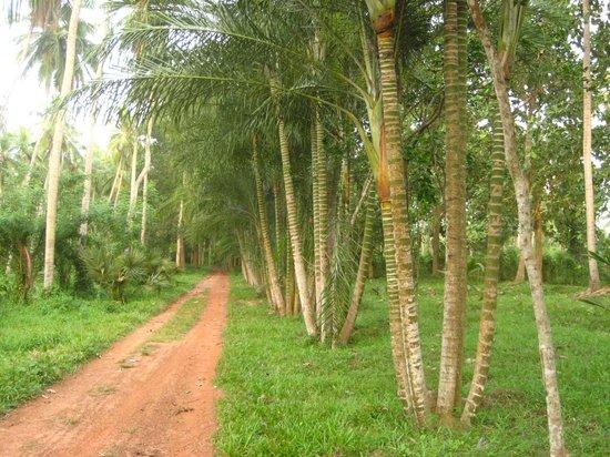 Horathapola Estate : Walking through the plantation