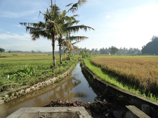Green Field Hotel and Bungalows: Rice tour