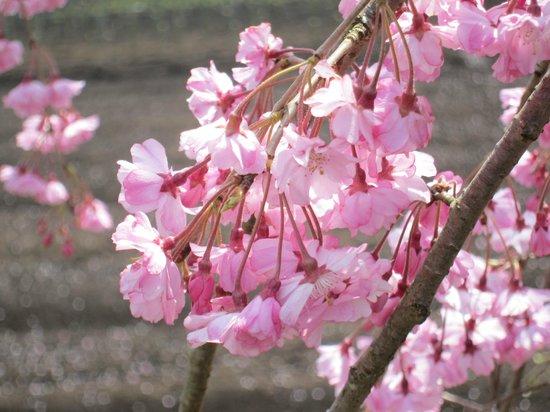 京都緑化センター・・・八重紅枝...