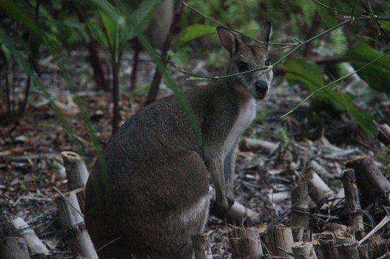 Kewarra Beach Resort & Spa : resident wallaby