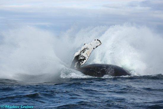 Bay of Fundy Inn: Humpback whale - Mariner Cruises Whale & Seabird Tours