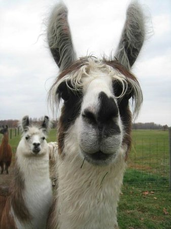 The Willowicke Inn: Llamas
