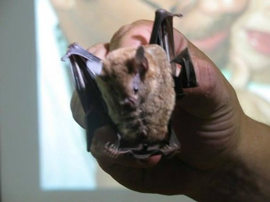 Tirimbina Lodge: Bat Tour
