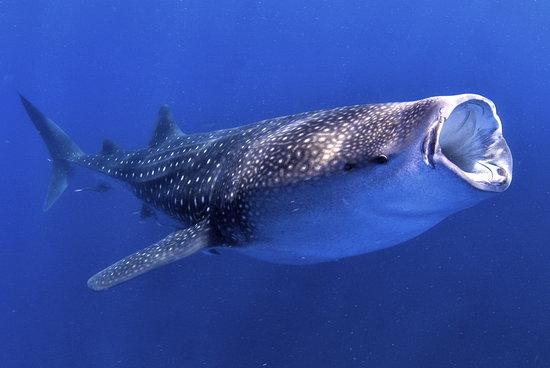Planet Scuba Mexico: Join a whale shark snorkeling excursion