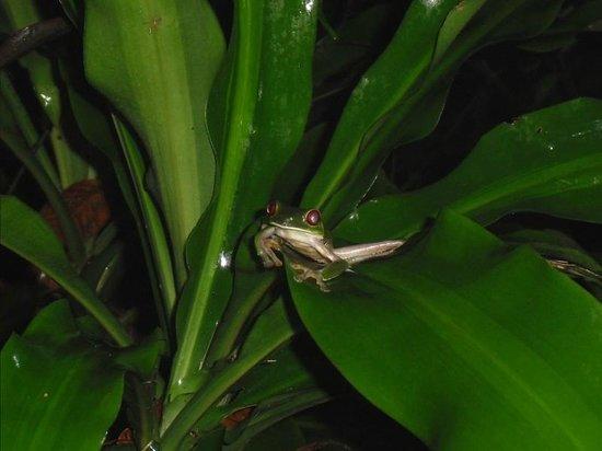 Drake Bay, Kosta Rika: Tree frog